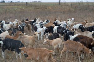 Slaven goat sale