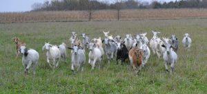 Goat Sale_BbarW_girls_small