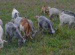 Goat sale_BbarW_DSC_0286_small