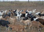 Goat sale_Hogan Ranch