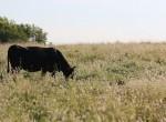 Cow Grazing_IMG_6495_web